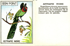 Bon point - Astrapie noire